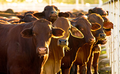 New livestock export requirements to affect Botswana